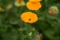 Żółty stokrotka kwiatu ogród zdjęcia stock