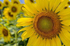 Żółty sunflow r w słonecznikowym polu Obrazy Stock