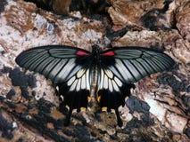 Żółty Swallowtail lub azjata zdjęcie stock