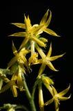 Żółty Szkarłatny Gila Zdjęcie Stock