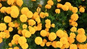 Żółty Tajlandzki nagietka kwiatu pole w ogródzie Zdjęcie Stock