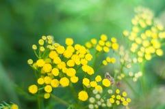 Żółty tansy kwitnie Tanacetum vulgare, pospolitego tansy, gorzkiego guzika, krowy gorzkiej lub złotych guzików w zielonej lato łą Zdjęcia Stock