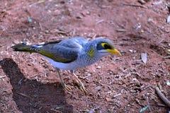 Żółty throated górnik w Norhhern terytorium pustyni zdjęcia stock