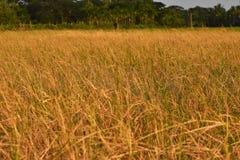 Żółty trawy pole fotografia royalty free