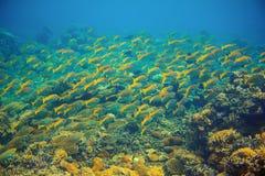 Żółty tropikalny rybi scho Rafy koralowa podwodna fotografia Koloru żółtego rybi tłum Tropikalny seashore snorkeling lub nurkuje obrazy royalty free