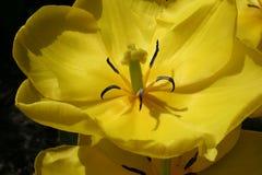 Żółty tulipan Zdjęcie Royalty Free