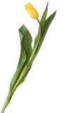 Żółty tulipan Fotografia Stock