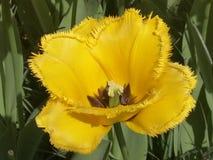 Żółty tulipan w parku Keukenhof w Holandia fotografia royalty free