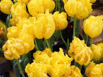 Żółty tulipanowy kwiatu pole, wizerunek dla sztandaru, Easter, wiosny karta Fotografia Stock
