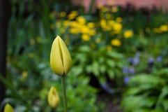 Żółty tulipanu pączek w ogródzie obraz royalty free