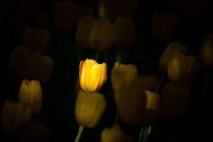 Żółty Tulipas Zdjęcia Stock