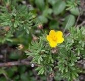 Żółty tundry róży kwiat Fotografia Stock