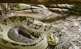 Żółty węża czaić się fotografia stock