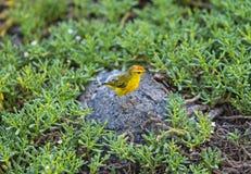 Żółty Warbler w Galapagos wyspach, Ekwador zdjęcie royalty free