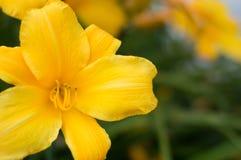 Żółty wibrujący kwiatek, Obraz Stock