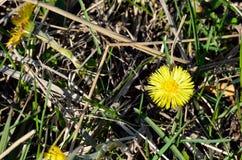 Żółty wildflower w świetle słonecznym makro- obrazy royalty free
