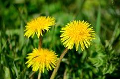 Żółty wildflower w bujny zieleni lecie obrazy stock