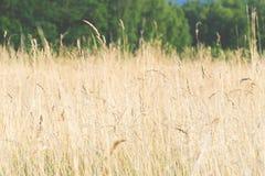 Żółty wysoki trawy dorośnięcie na polu, siano dla bydło, krajobraz, naturalny tło zdjęcie royalty free