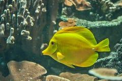 Żółty xanthurum Zdjęcia Royalty Free