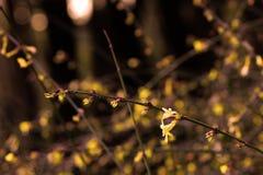 Żółty zima jaśmin; żółty kwiatu elf fotografia royalty free