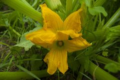 Żółty zucchini kwiat kwitnący Obrazy Stock
