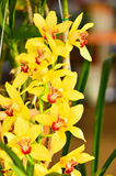 Żółtych orchidei zamknięty up Obraz Royalty Free