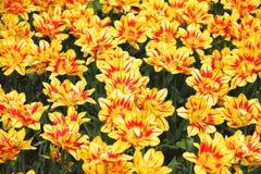 Żółtych tulipanów Monsella Dwoista ilustracja Obrazy Royalty Free