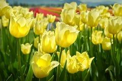 Żółtych tulipanów zamknięty up Fotografia Royalty Free