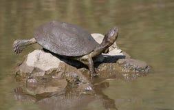 żółw świeża woda Fotografia Royalty Free