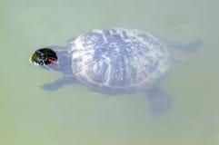 Żółw obrazy stock