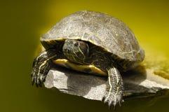 żółw Zdjęcia Stock