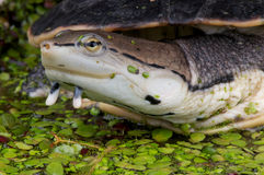 żółw boczny żółw Obraz Royalty Free