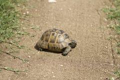 Żółw chodzi samotnie na drodze fotografia stock