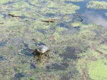 Żółw cieszy się ciepło na lokalnym stawie i słońce fotografia stock