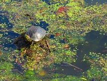 Żółw cieszy się słońce na lokalnym stawie zdjęcia royalty free