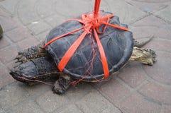 żółw dziki Fotografia Stock