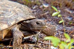 Żółw głowa Zdjęcia Stock