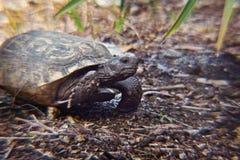 Żółw głowa Fotografia Royalty Free