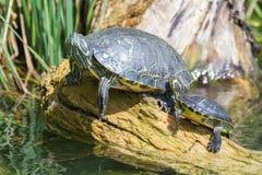 Żółw i dziecko żółw Zdjęcie Stock