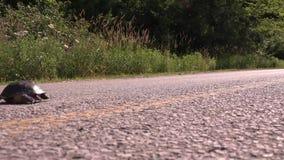 Żółw krzyżuje drogę zdjęcie wideo