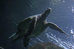 żółw morski zdjęcie stock