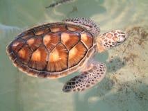 żółw morski Zdjęcie Royalty Free