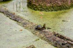 Żółw na beli z duckweed fotografia stock