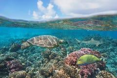 Żółw na raf koralowych bor borach Francuski Polynesia obraz royalty free