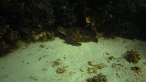Żółw obok korala zdjęcie wideo