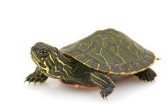 żółw północny czerwony żółw Fotografia Stock