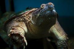 Żółw pływa podwodnej środowisko gada przyrody Zdjęcie Stock