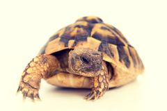 Żółw przed białym tłem Zdjęcia Royalty Free
