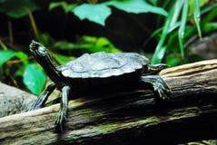 Żółw przyglądający w górę zdjęcie royalty free