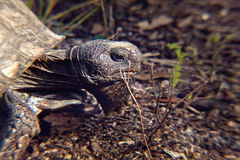 Żółw; s głowa Fotografia Royalty Free